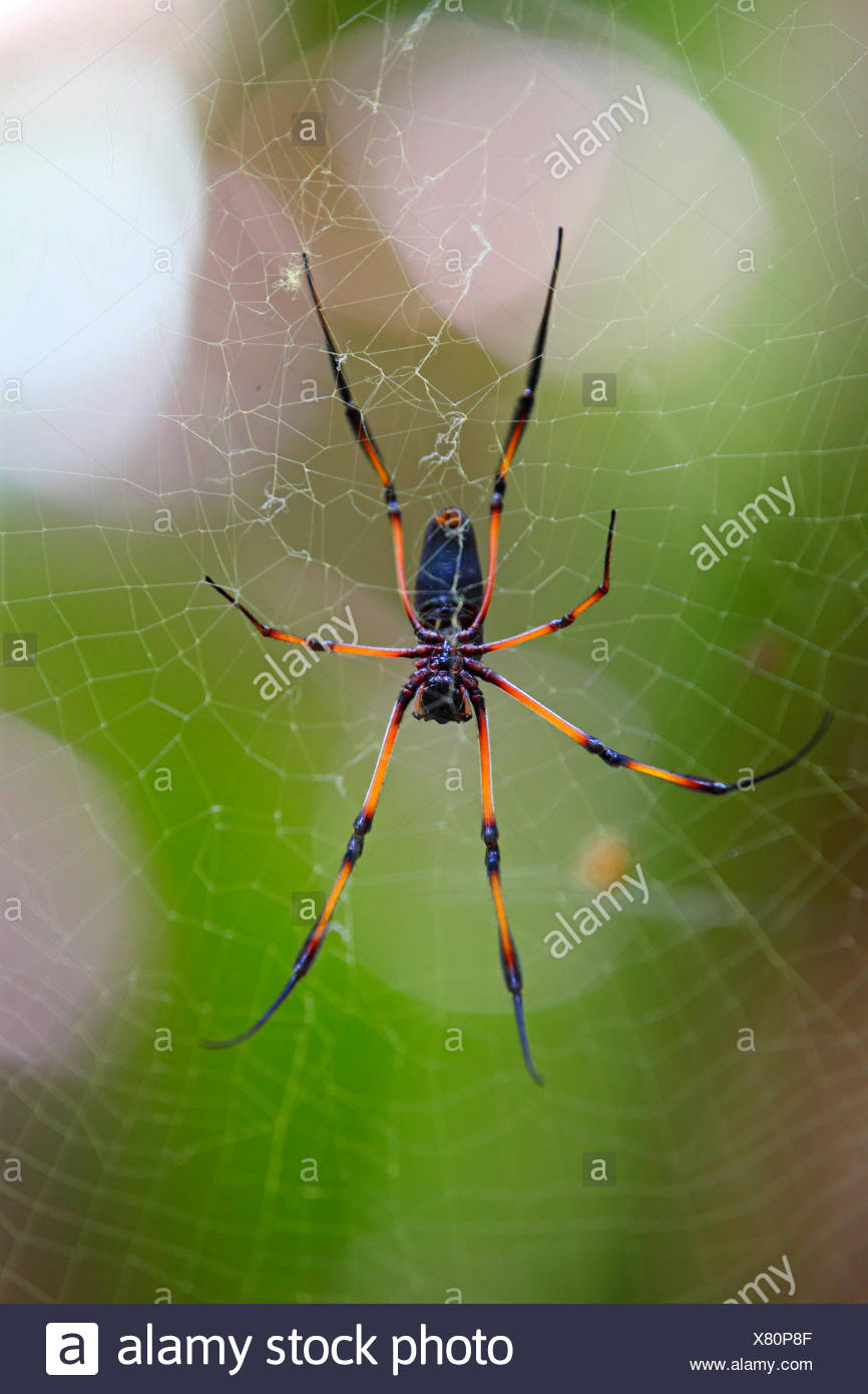 Red-legged golden orb-web spider (Nephila inaurata), spider in a web, Seychelles, Vallee de Mai National Park, Praslin - Stock Image