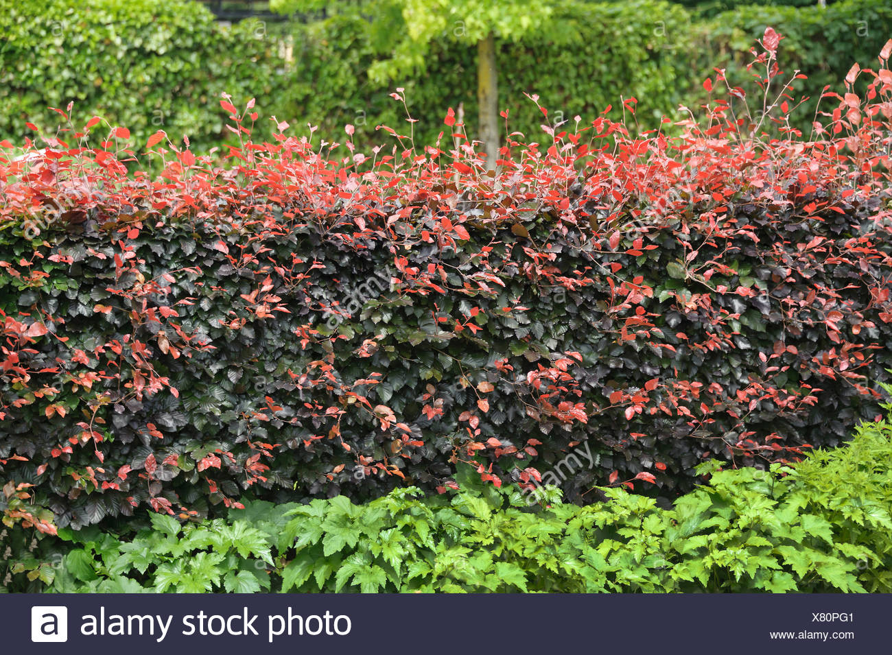 copper beech (Fagus sylvatica var. purpurea, Fagus sylvatica 'Atropunicea', Fagus sylvatica Atropunicea), hedge of cultivar Atropunicea, Netherlands - Stock Image