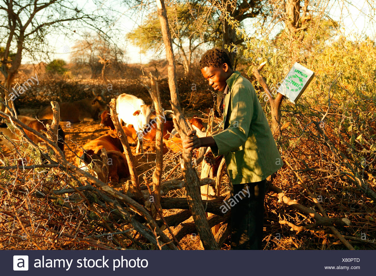 Man closing the cattle kraal, Cattlepost Bothatoga, Botswana, Africa - Stock Image