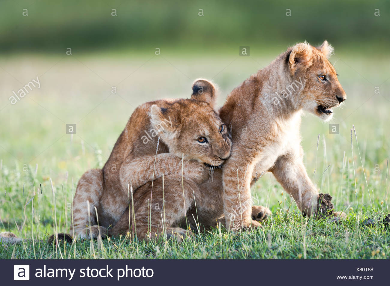 African Lion cubs, around 4 months old playing together, Big Marsh, Serengeti, Tanzania - Stock Image