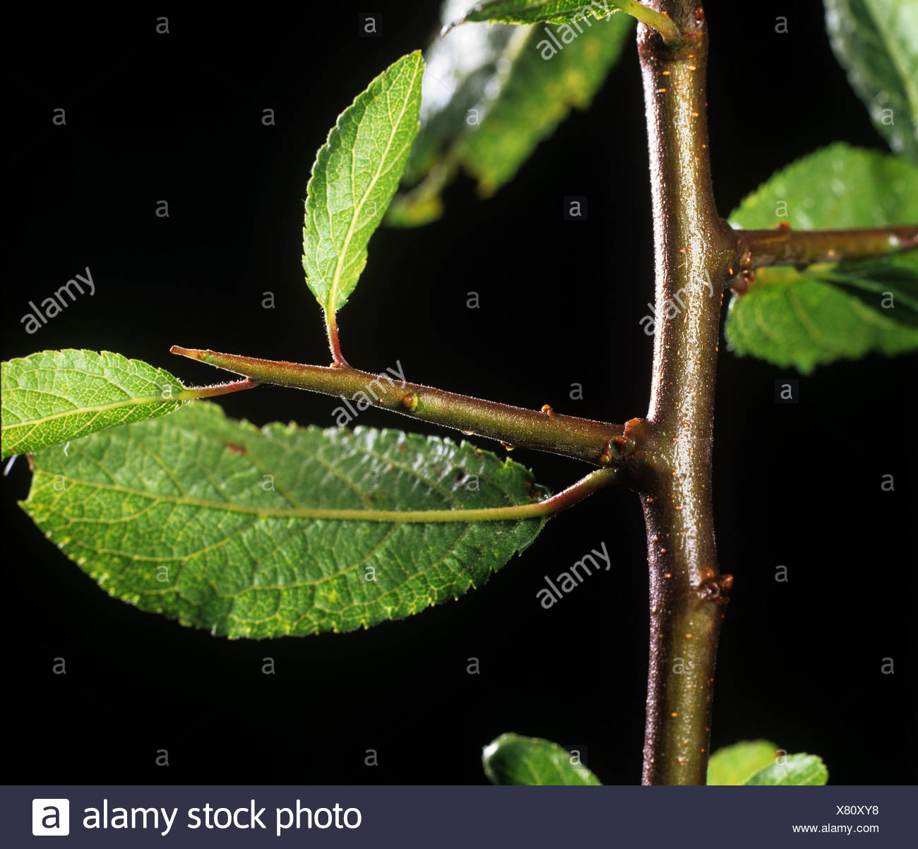 Vicious thorn on young blackthorn (Prunus spinosa) wood - Stock Image