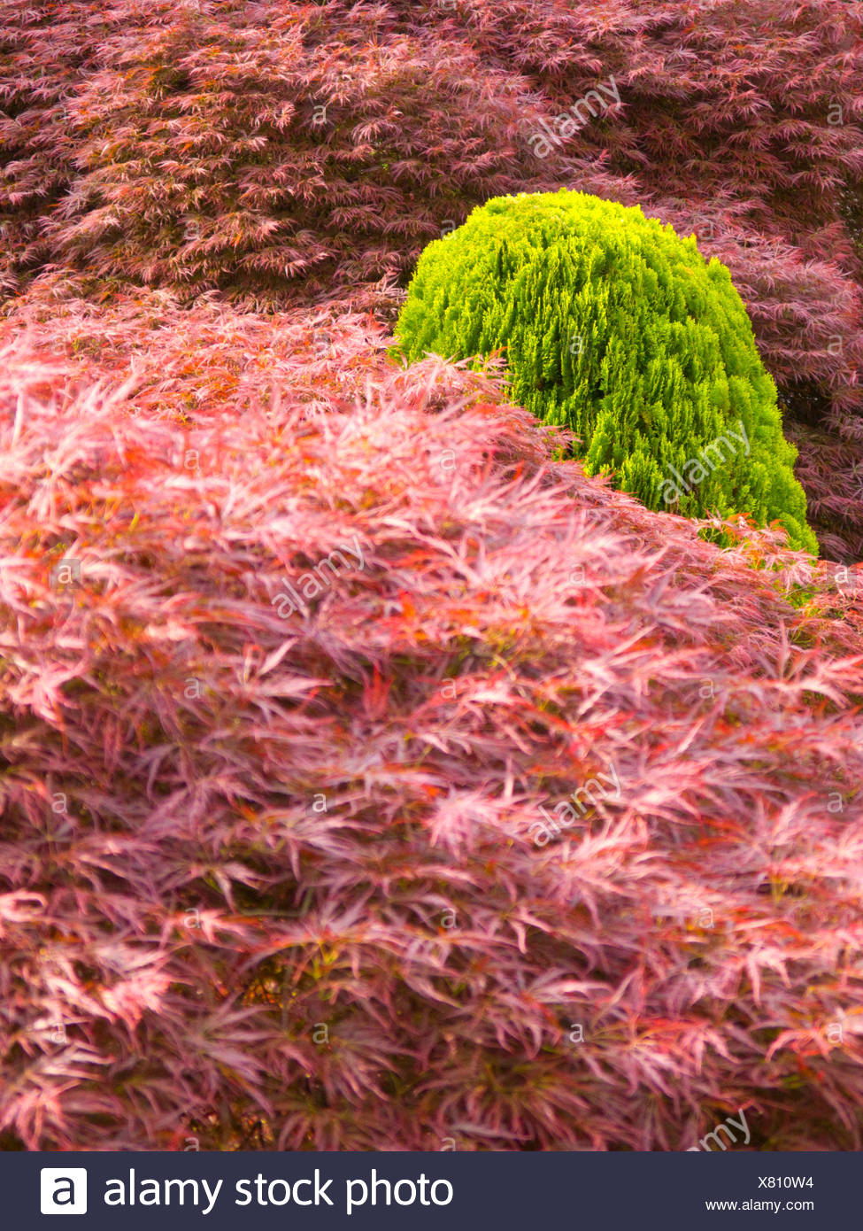 Japanese acers with a small conifer Stock Photo