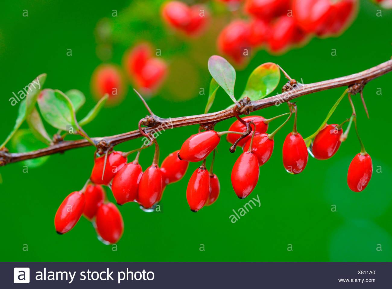 Berberitzenbeeren an Zweig  / (Berberis vulgaris) - Stock Image