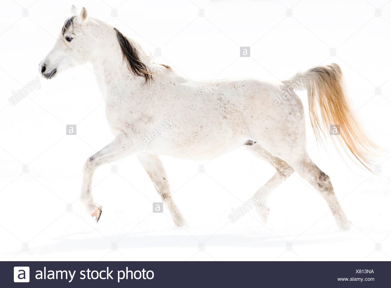 Arab Horse Arabian Horse Grey Stallion Trotting In Snow Stock Photo Alamy