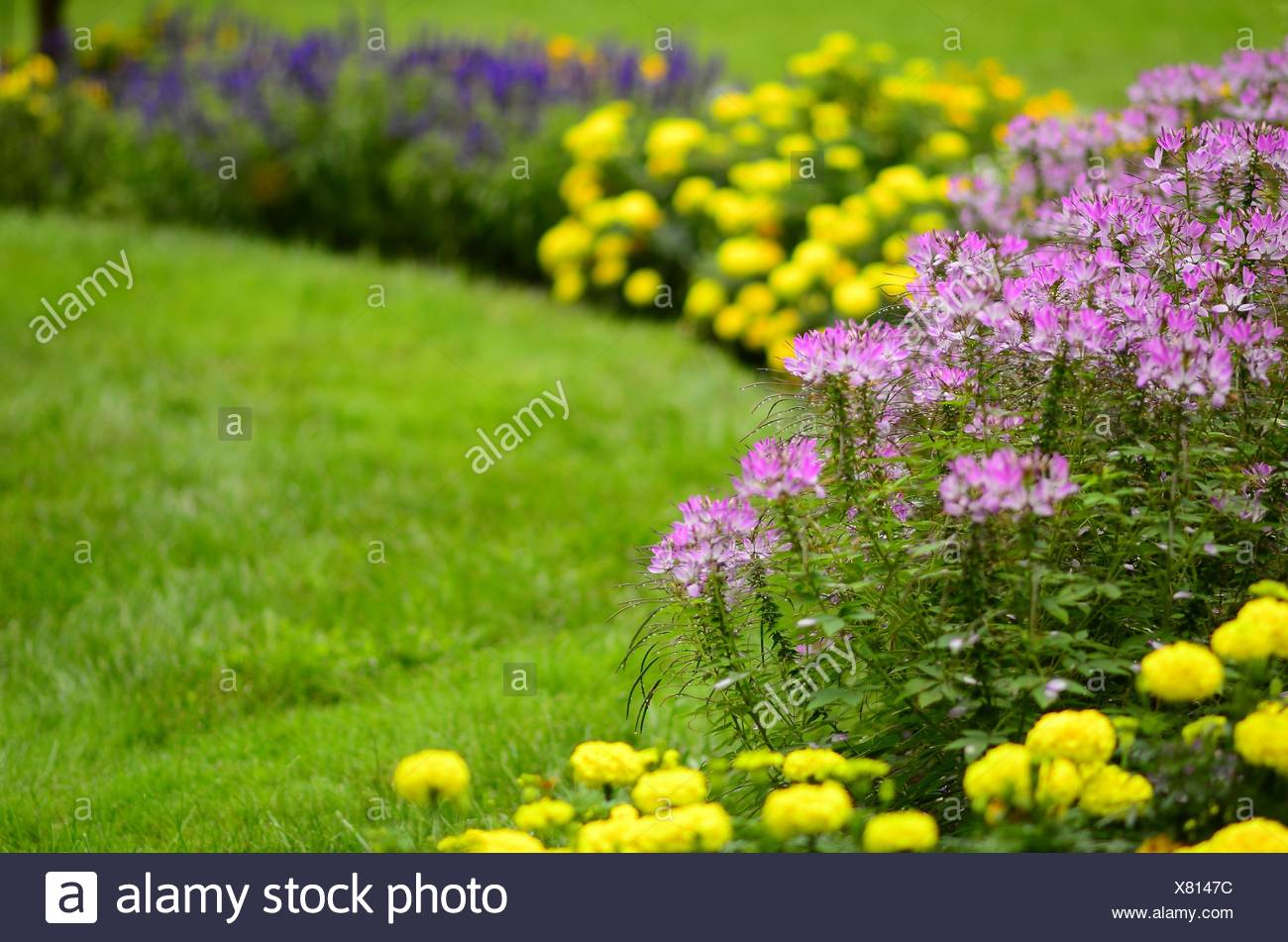 Cleome flowers in soft focus watch over the lawn and garden, Pennsylvania, USA. Stock Photo
