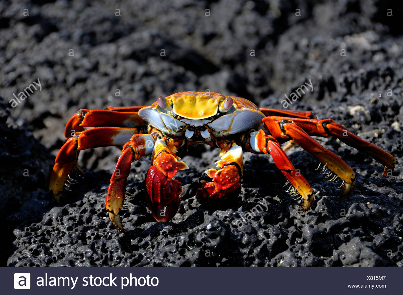 Ecuador Sally Lightfoot Crab Grapsus Grapsus Las Bachas Santa Cruz Island Galapagos Islands black rock - Stock Image