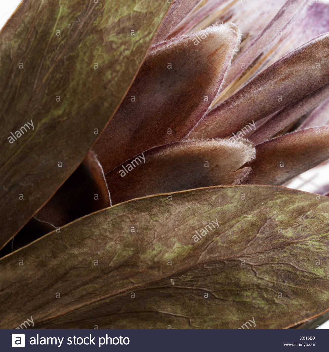 dried flower, close-up, thistle, flower, blossom, dry, withered, decoration, detail, plant, structure, - Stock Image