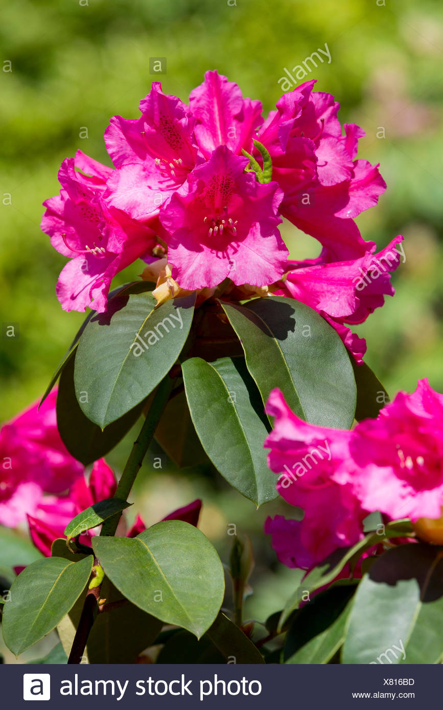 Williams Rhododendron (Rhododendron williamsianum), flowering, Thuringia, Germany Stock Photo
