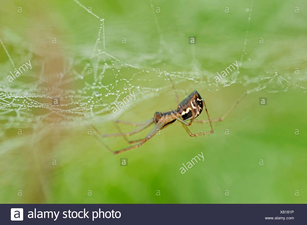 European Sheet-web Spider (Linyphia triangularis), in a web, North Rhine-Westphalia, Germany - Stock Image