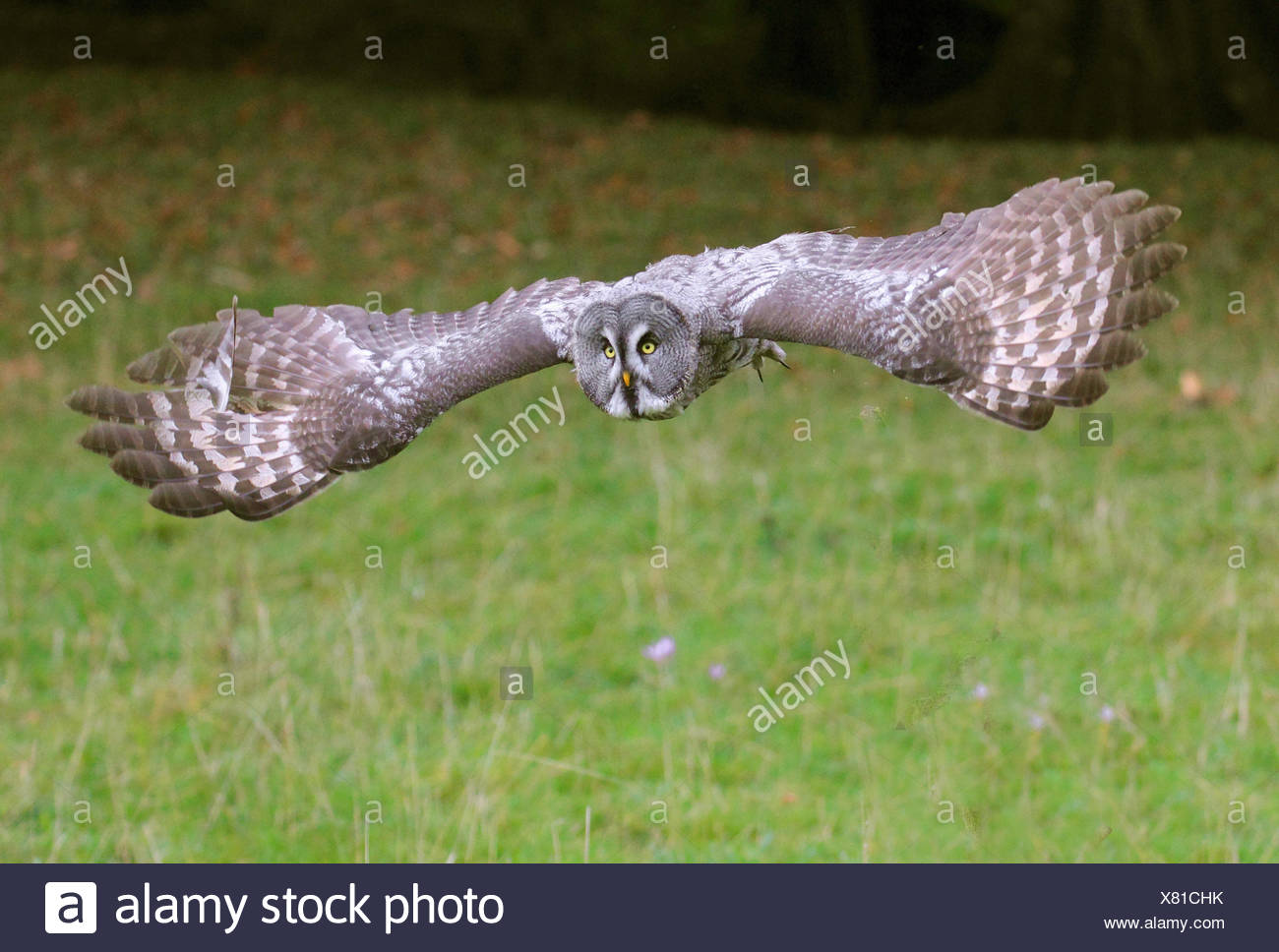 great grey owl (Strix nebulosa), in flight over a meadow - Stock Image