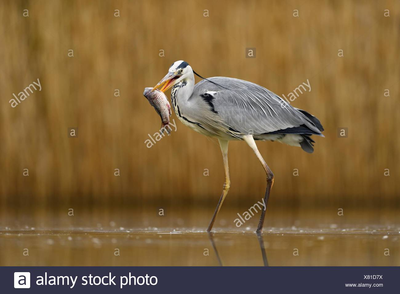 Grey heron (Ardea cinerea), stands in the water with prey fish in the beak, National Park Kiskunsag, Hungary - Stock Image