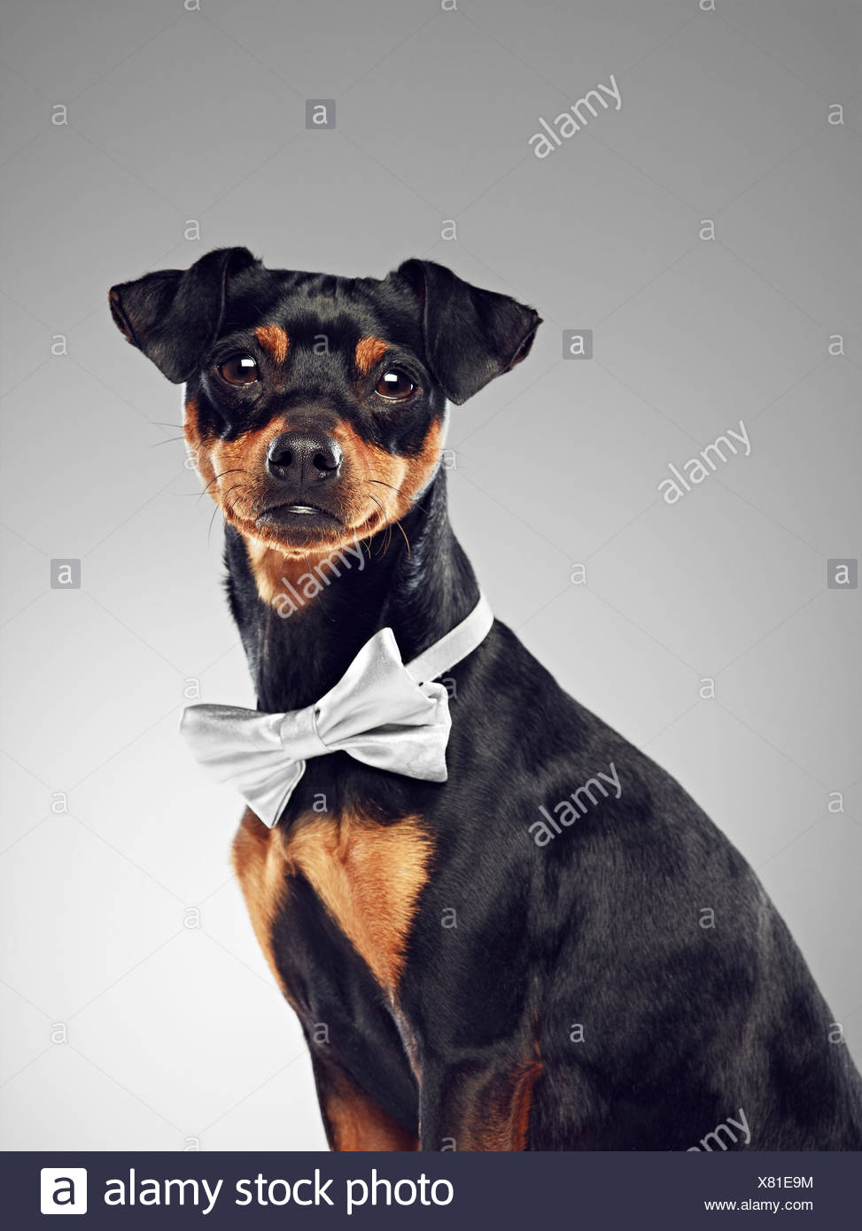 Dog wearing bow tie - Stock Image