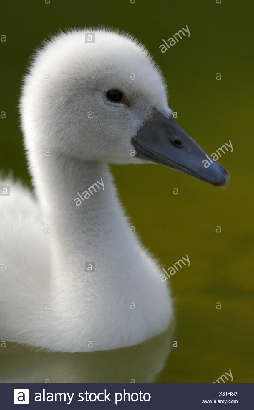 Hump swan, Cygnus olor, chicks, - Stock Image