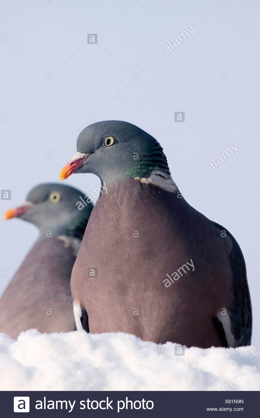 wood pigeon (Columba palumbus), two birds sitting side by side on snow, Germany - Stock Image