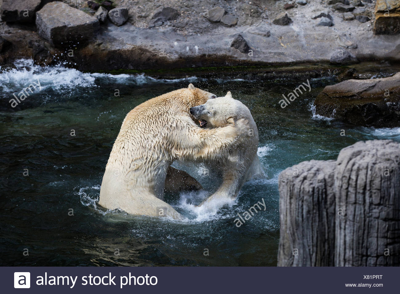 two juvenile respectively 500kg heavy polar bears at play fighting in hannover adventure zoo - Stock Image