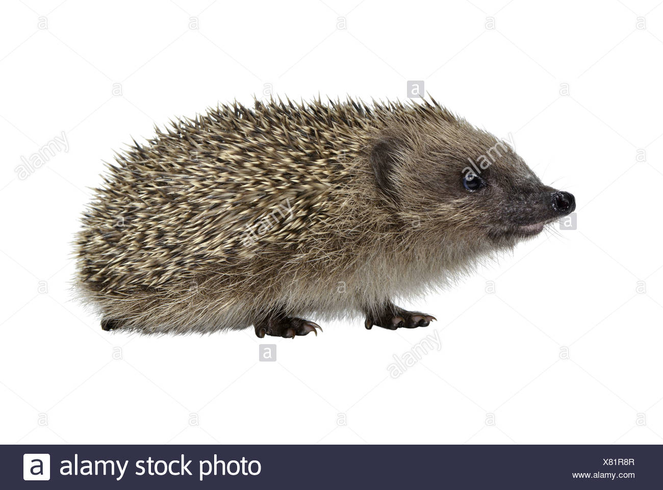 Hedgehog Erinaceus europaeus - Stock Image