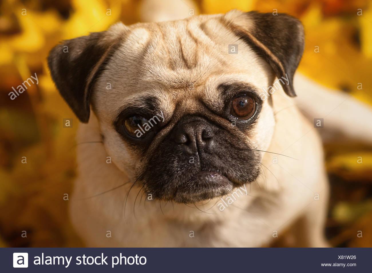 Pug Portrait - Stock Image