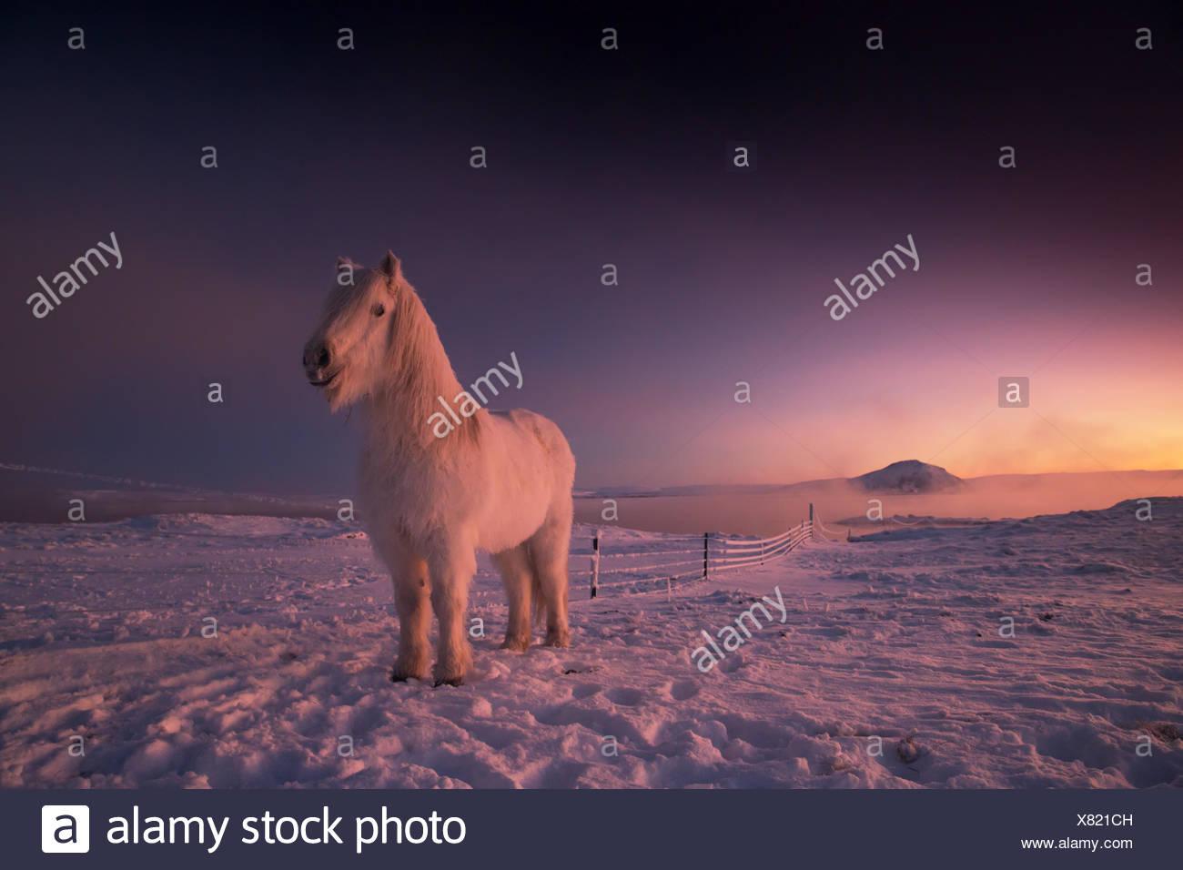 Icelandic horse, Equus ferus caballus, on snowy farm during sunset in Iceland. - Stock Image