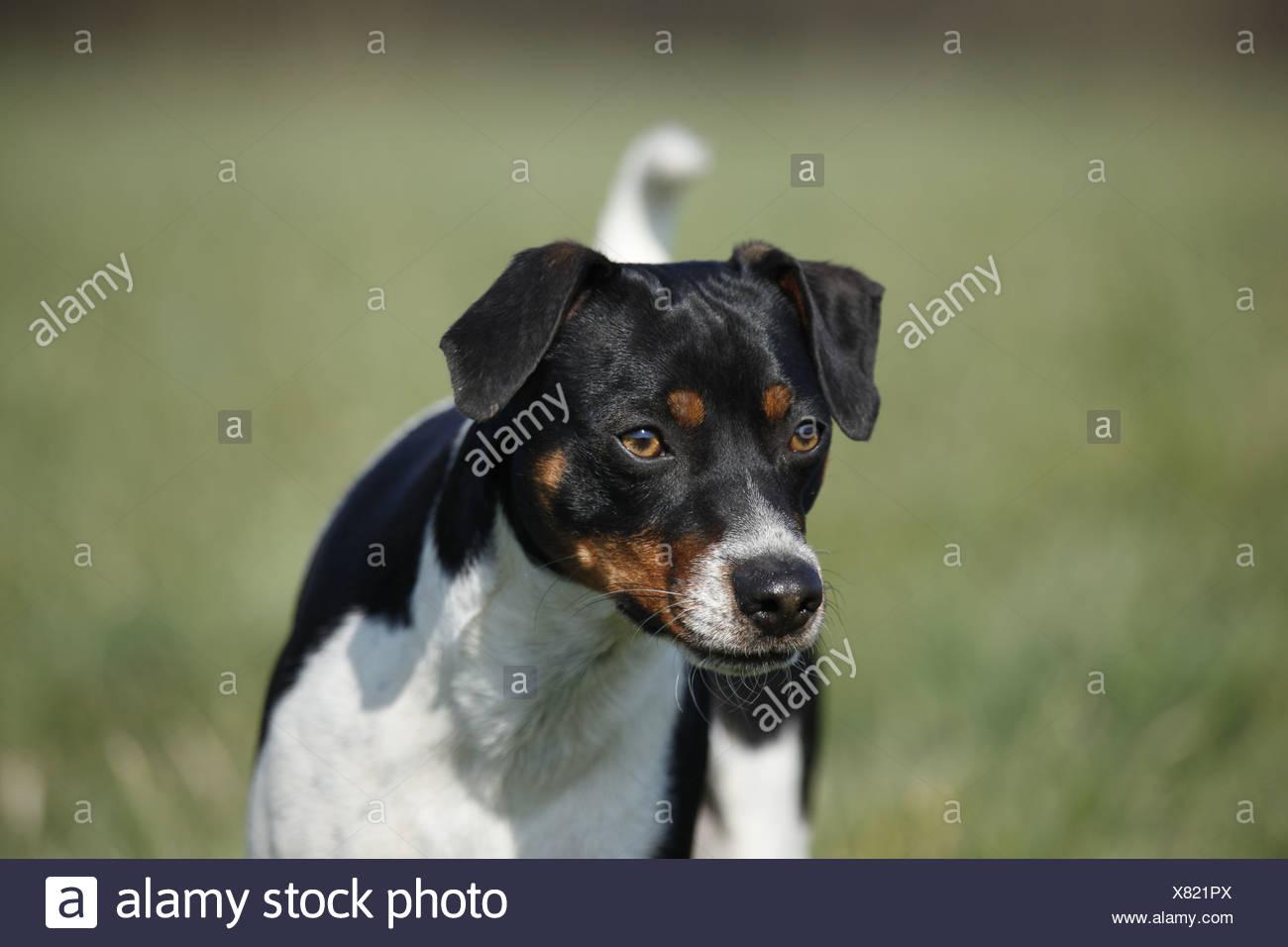 Dansk Svensk Gaardshund Stock Photo