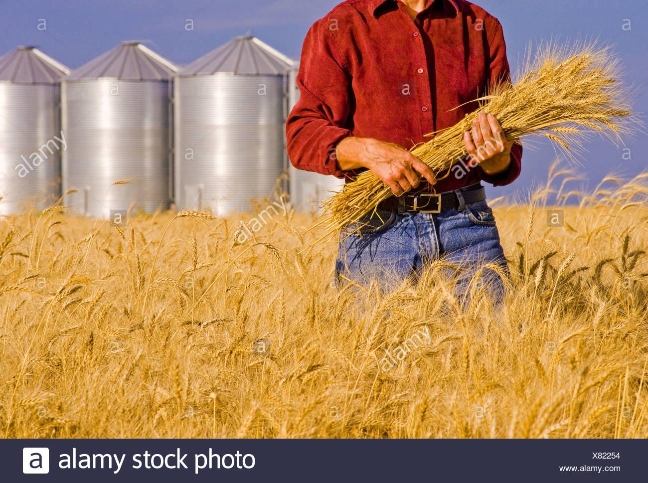 A farmer holds mature winter wheat, grain bins in the background, near Carey, Manitoba, Canada - Stock Image