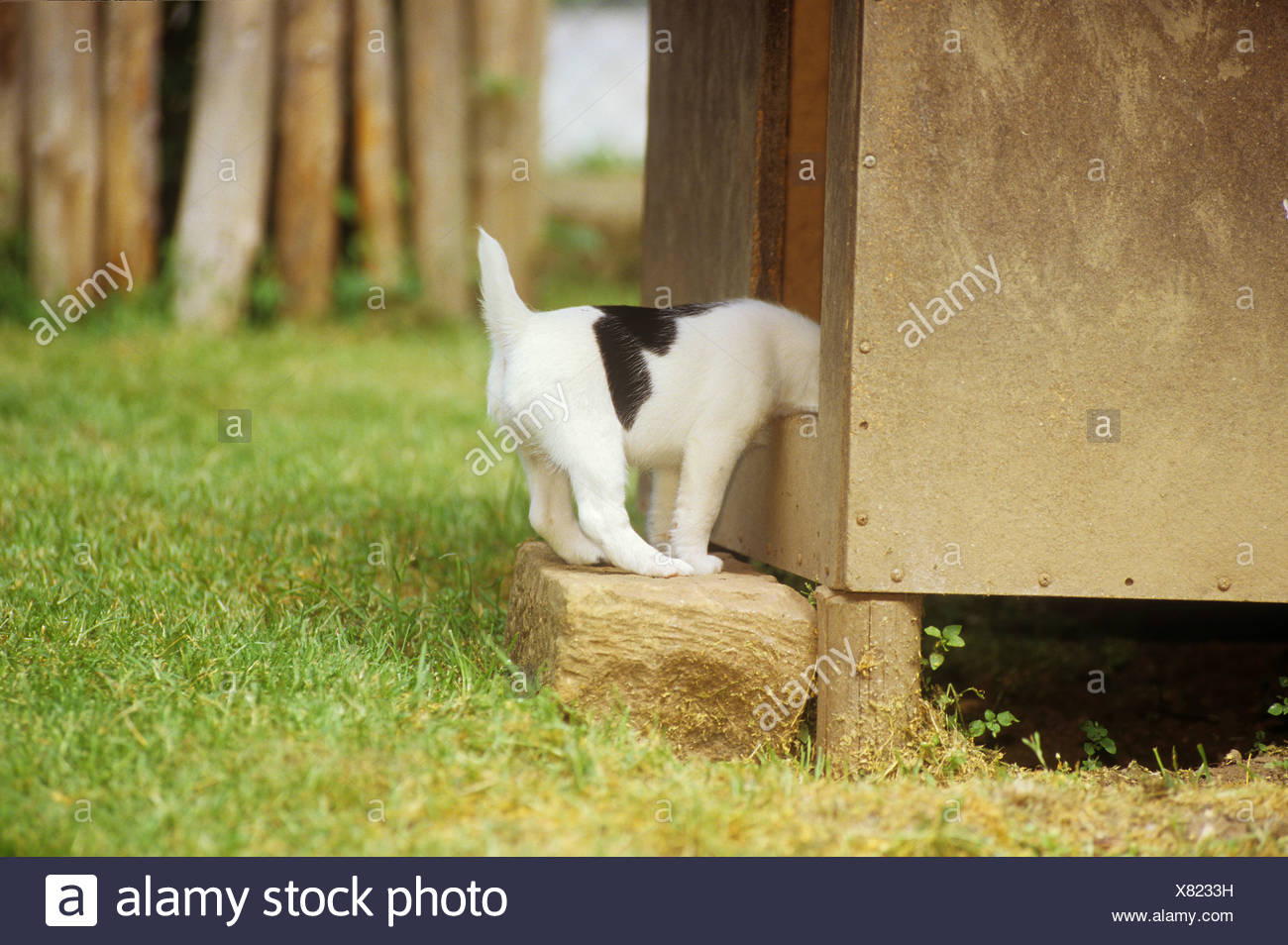 Foxterrier - puppy looking into cabin / - Stock Image