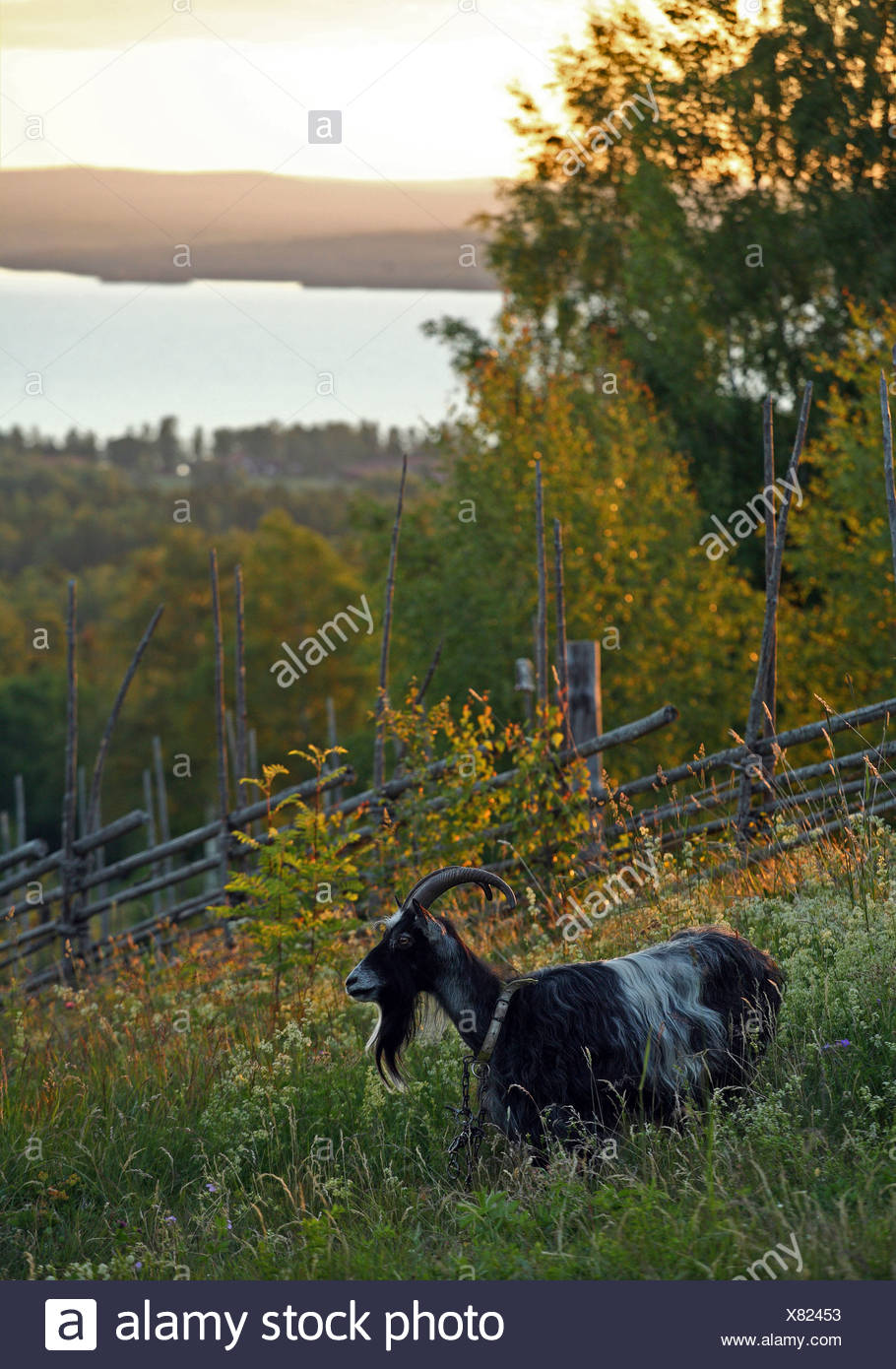 Side view of a buck grazing in a field with lake in the background - Stock Image