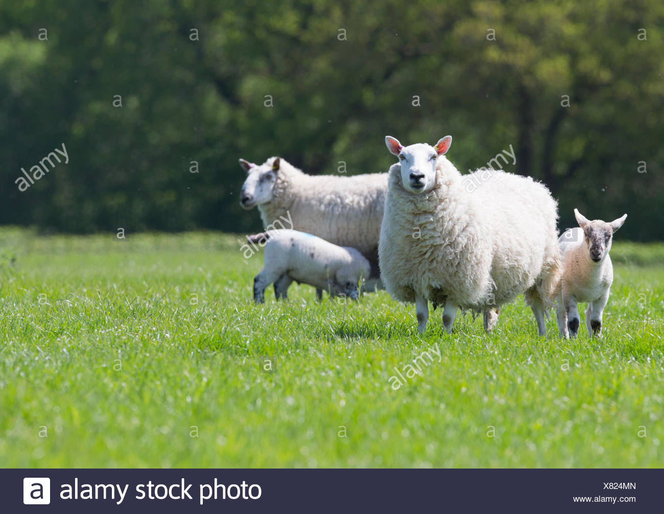 Portrait of sheep and lambs in sunny green spring field - Stock Image