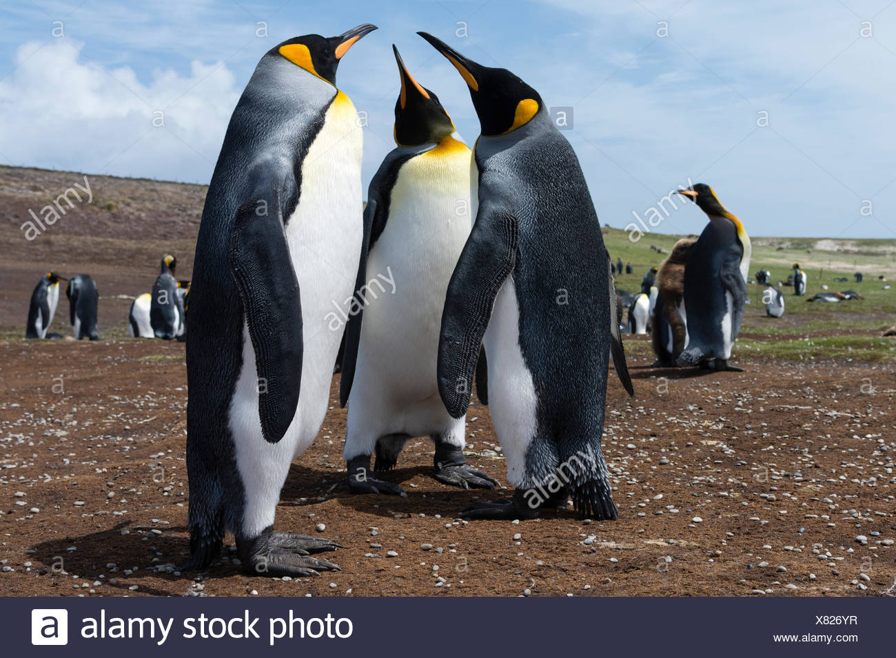 King penguins, Aptenodytes patagonica, at a colony. - Stock Image