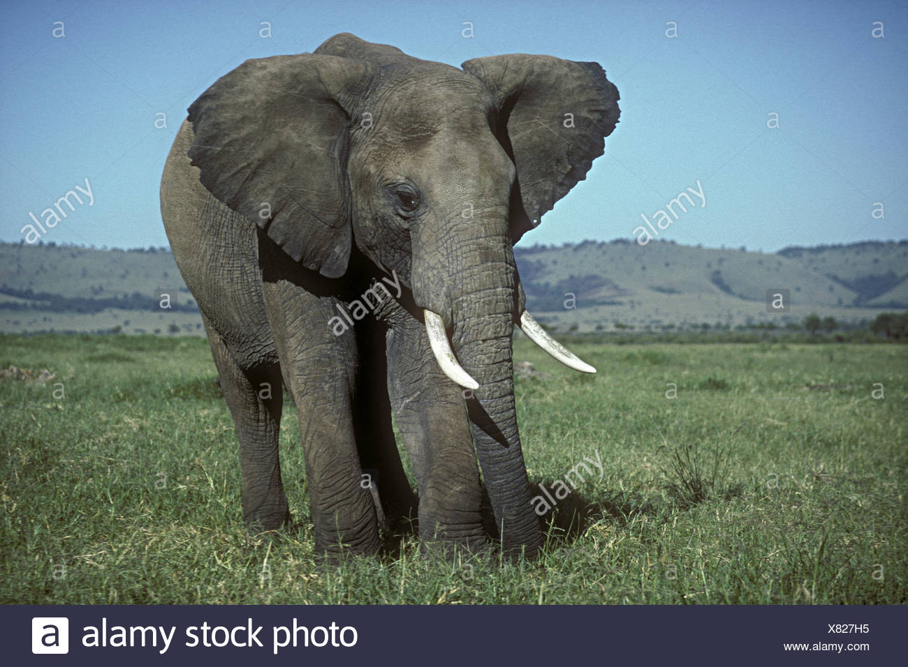 Large mature solitary male elephant bull grazing in green grass grassland savannah Masai Mara National Reserve Kenya East Africa Stock Photo