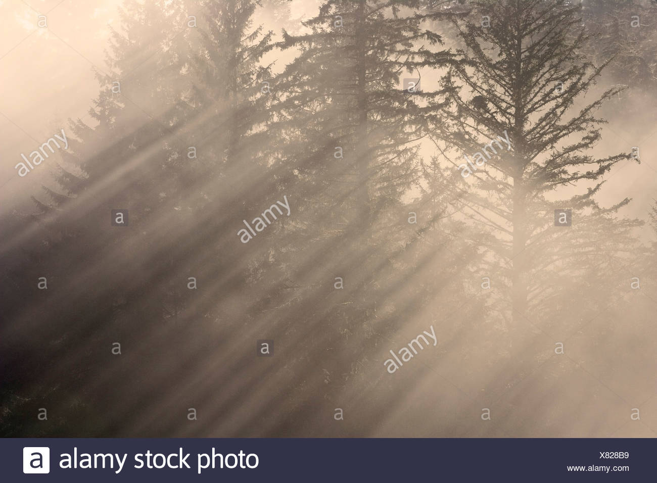 Morning rays shine through the mist and spruce and hemlock trees Tongass National Forest southeast Alaska autumn - Stock Image
