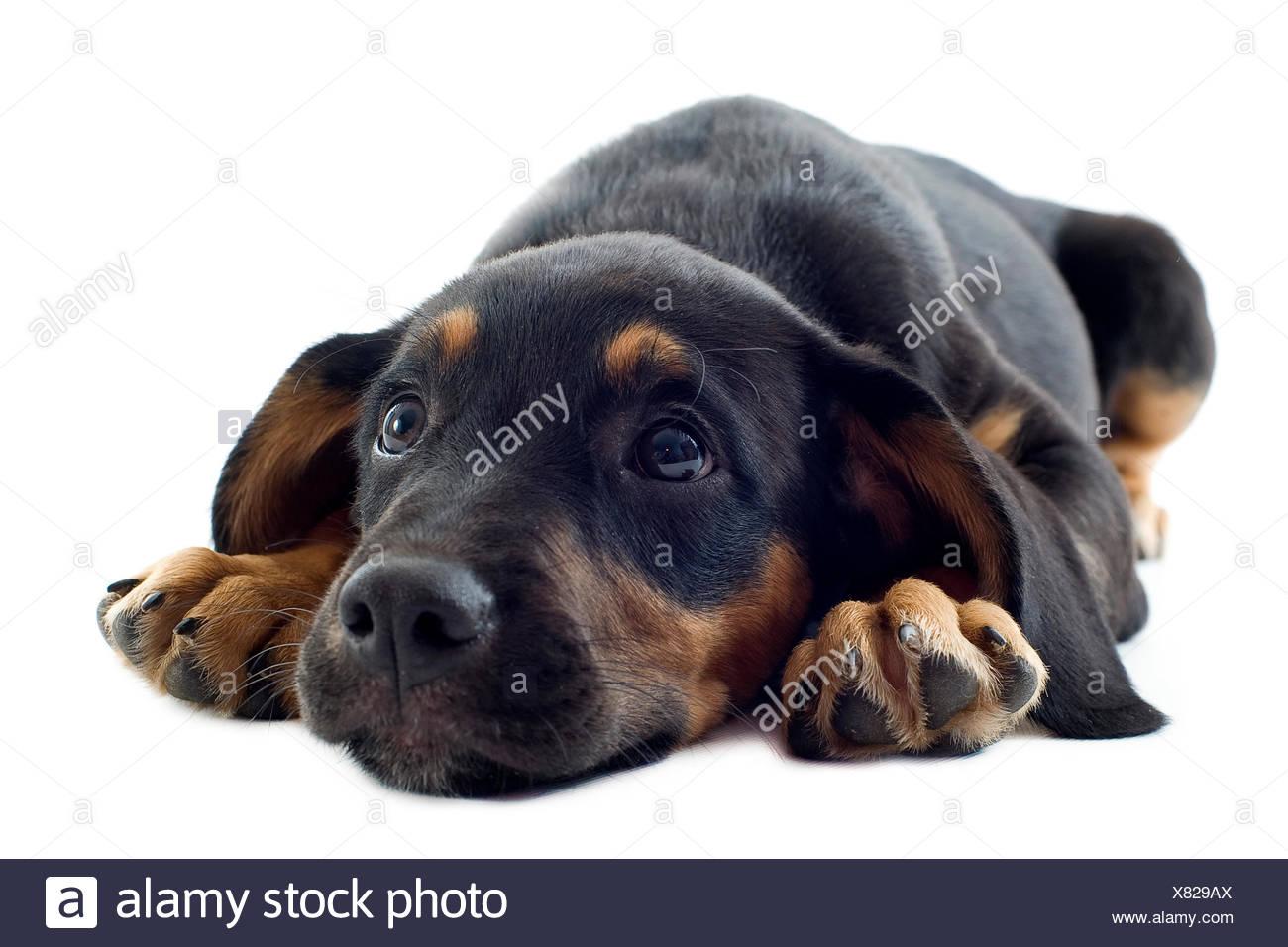 Pet Portrait Dog Puppy Doberman Pinscher Head Animal Sad