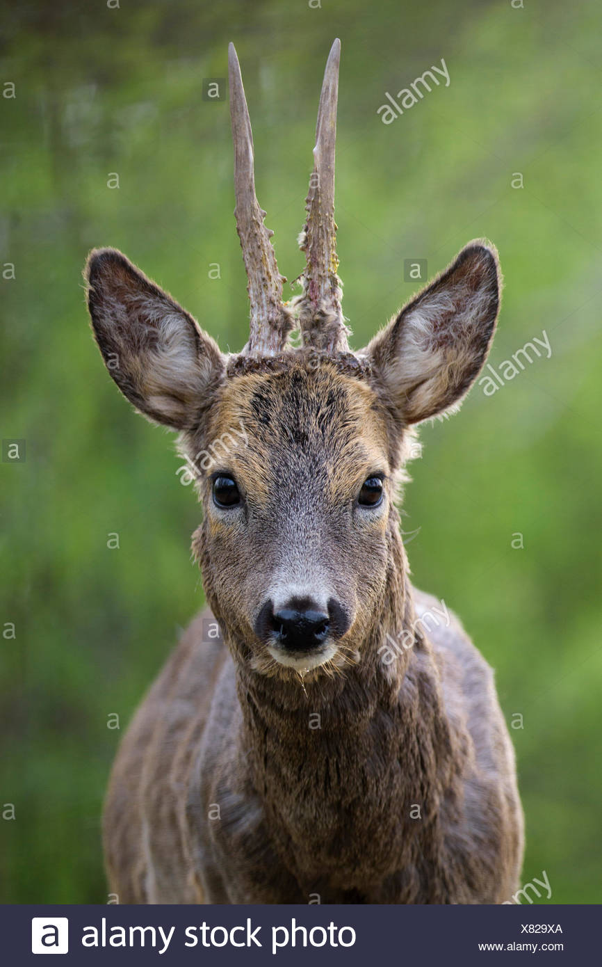 Roe deer (Capreolus capreolus) roebuck with winter coat, portrait, Kiskunság National Park, Hungary - Stock Image