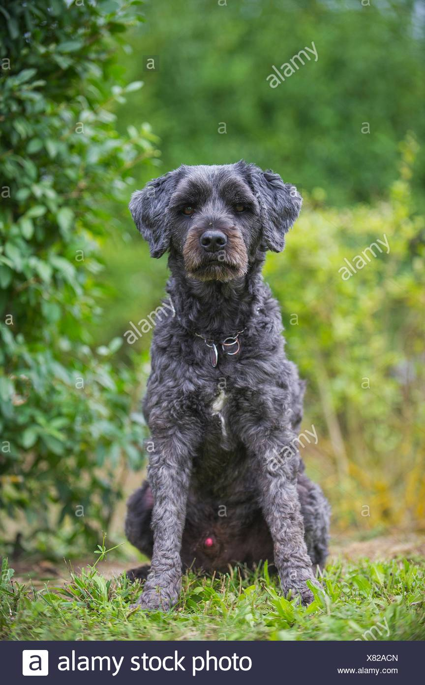 sitting Tibetan terrier - Stock Image