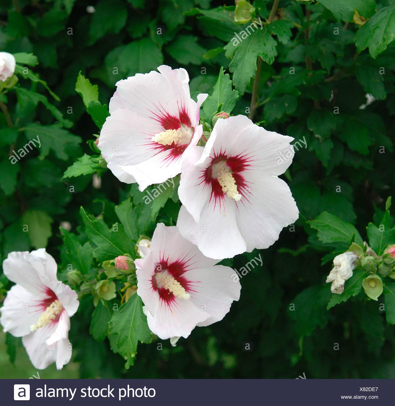 Shrubby Althaea Rose Of Sharon Hibiscus Syriacus Cultivar Red