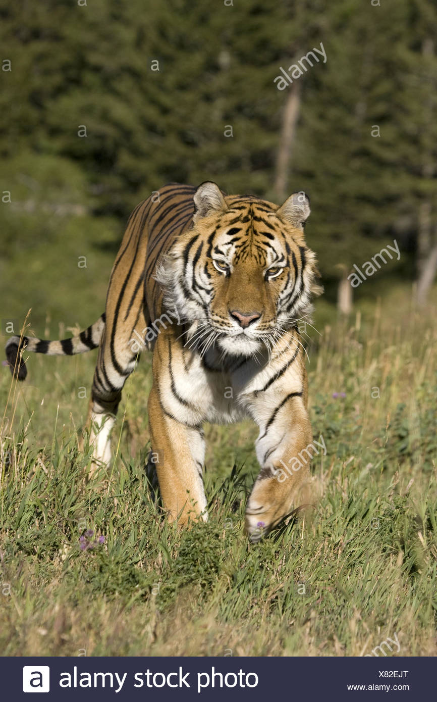 Siberian Tiger in pursuit - Stock Image