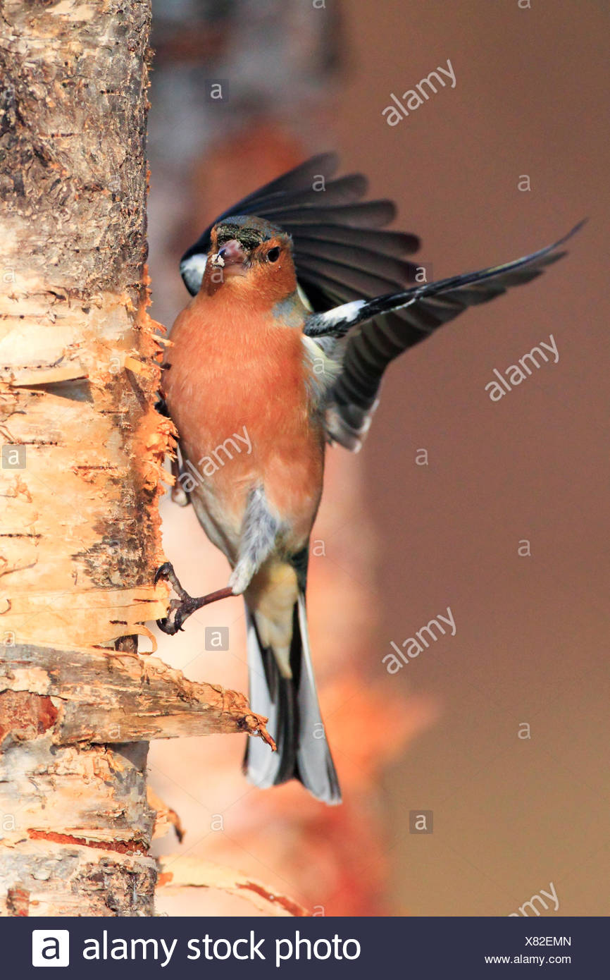 chaffinch (Fringilla coelebs), searching food at birch trunk, United Kingdom, Scotland, Cairngorms National Park - Stock Image
