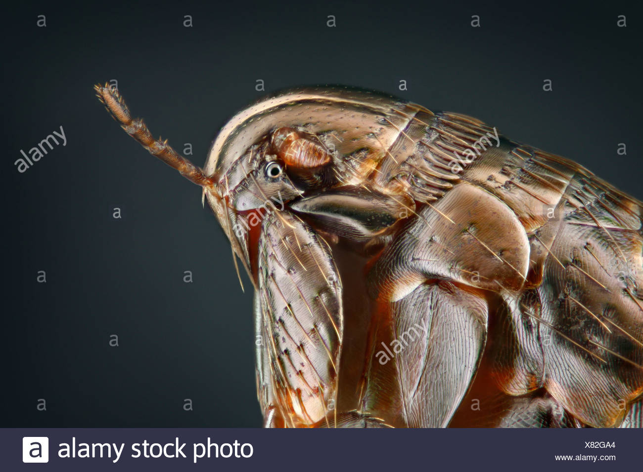 Head of a hen flea (Ceratophyllus gallinae), extreme close-up - Stock Image