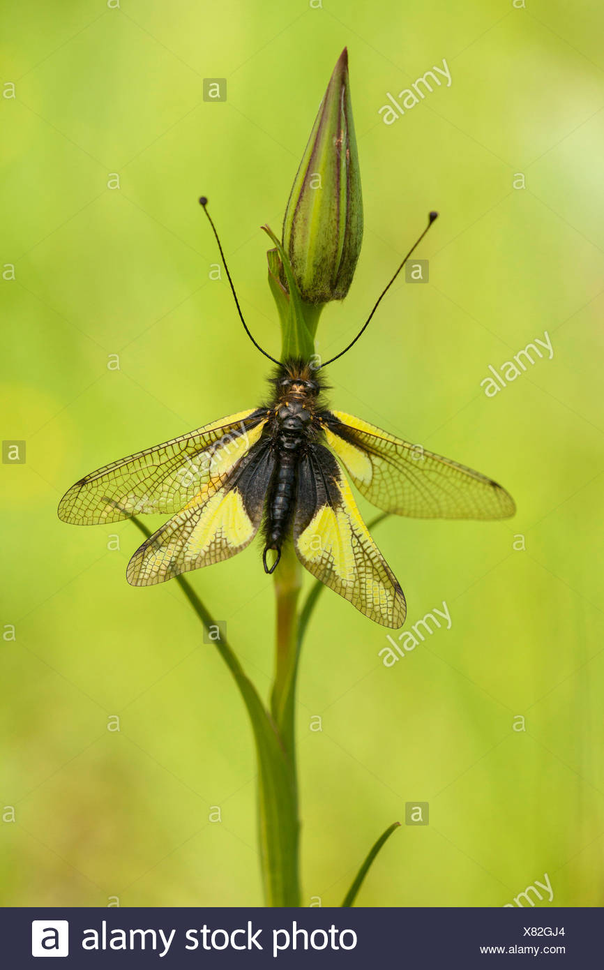 Neuropterans stock photos neuropterans stock images alamy owlflies libelloides coccajus libelloides coccaius ascalaphus libelluloides on a flower bud mightylinksfo