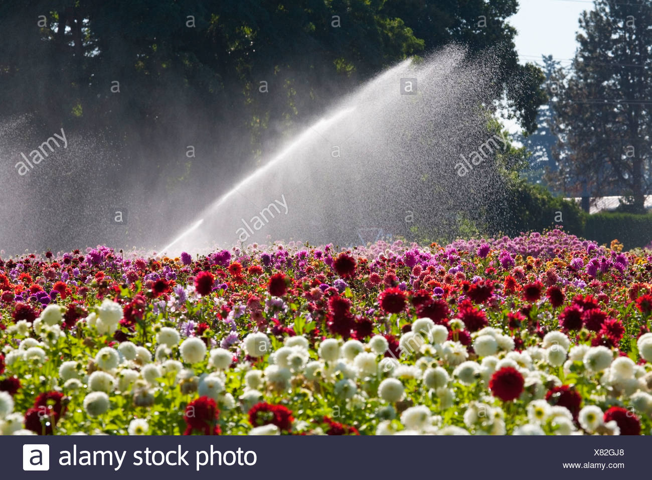 Willamette Valley, Oregon, United States Of America; Water Spraying From A Sprinkler Over The Dahlia Field - Stock Image