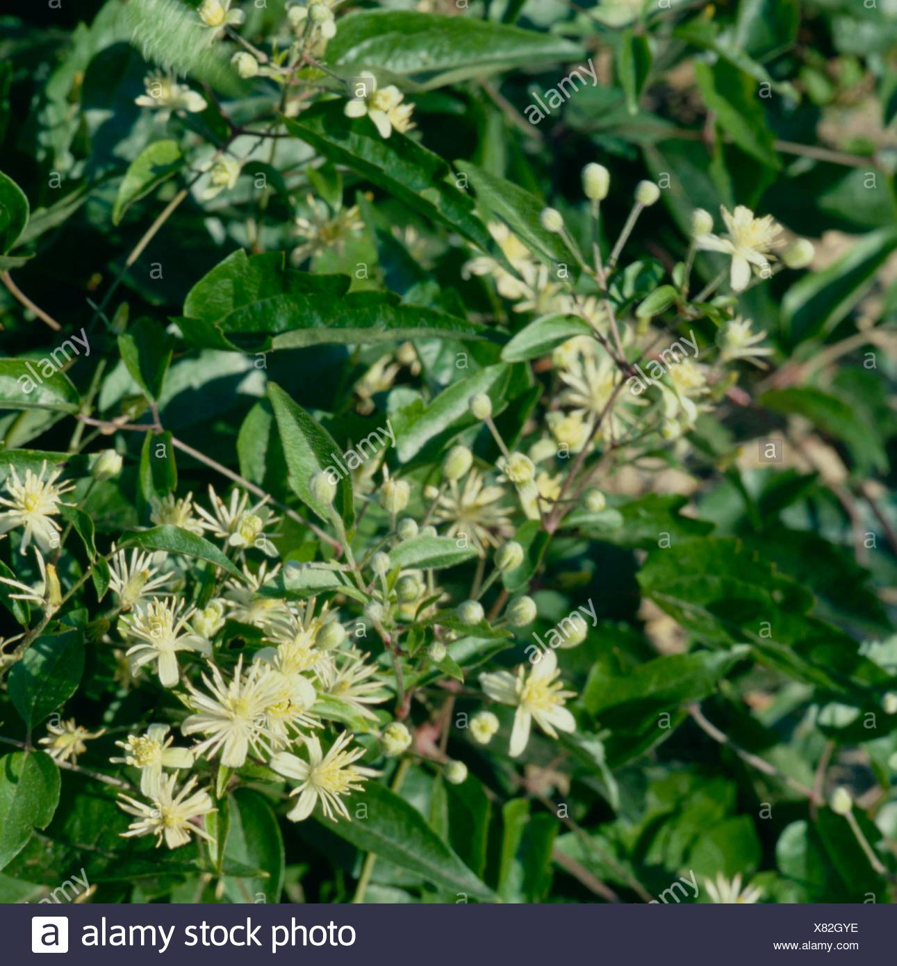 Clematis vitalba - Old Man's Beard ''Traveller's Joy'''   CLE044015 - Stock Image