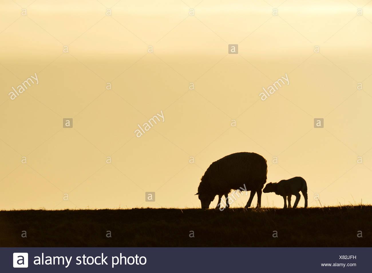 Texel sheep, mouflons (Ovis orientalis aries), silhouette of ewe and lamb at dusk, Oudeschild, Texel, West Frisian Islands - Stock Image