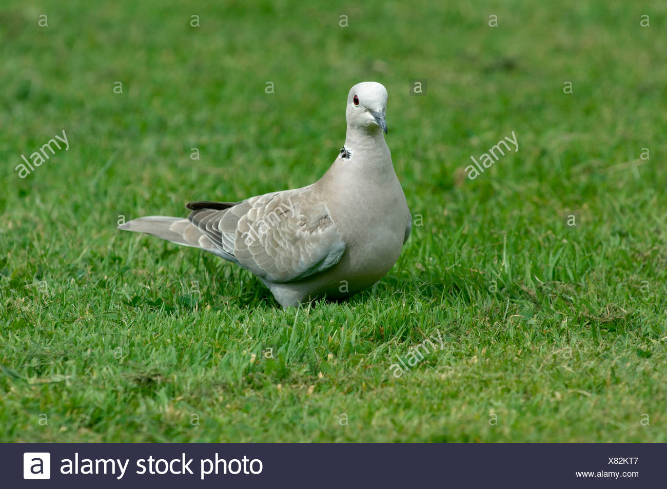 Collared dove on grass Devon - Stock Image