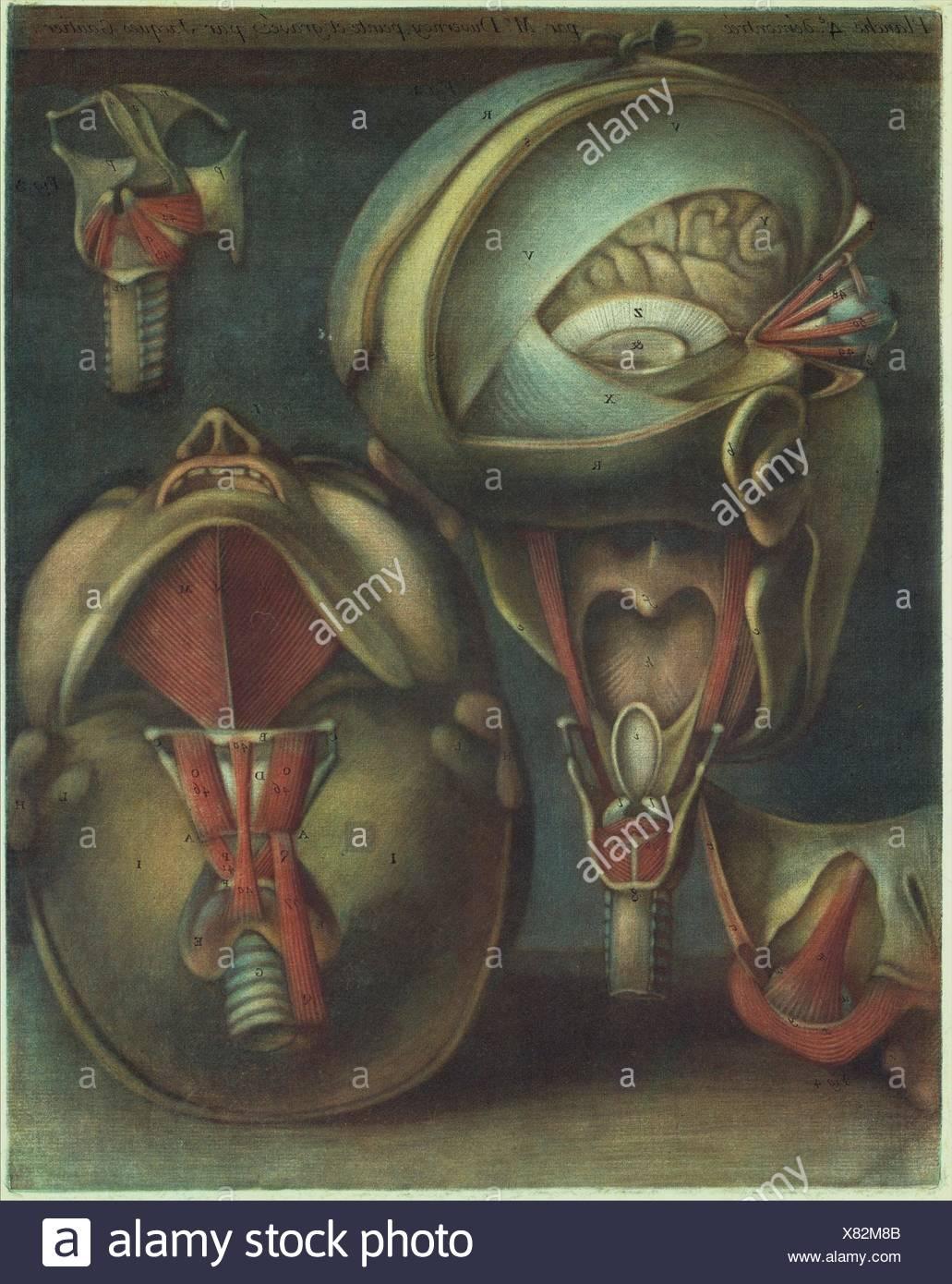 Myologie Complette en Couleur et Grandeur Naturelle. Author: Joseph Guichard Duverney (French, 1648-1730); Artist: Jacques Fabien Gautier Dagoty - Stock Image