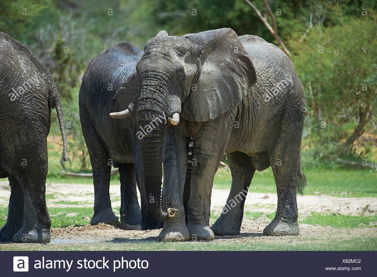 Botswana, Africa, elephant, Mahango Game, reserve, Nunda, animals, reserve - Stock Image