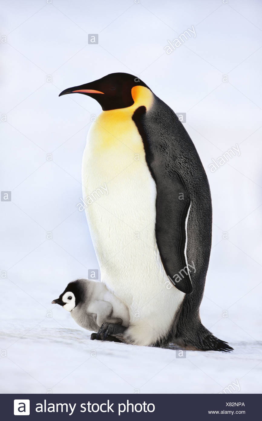 Emperor penguin with chick on feet Aptenodytes forsteri Weddell Sea Antarctica Weddell Sea Antarctica - Stock Image
