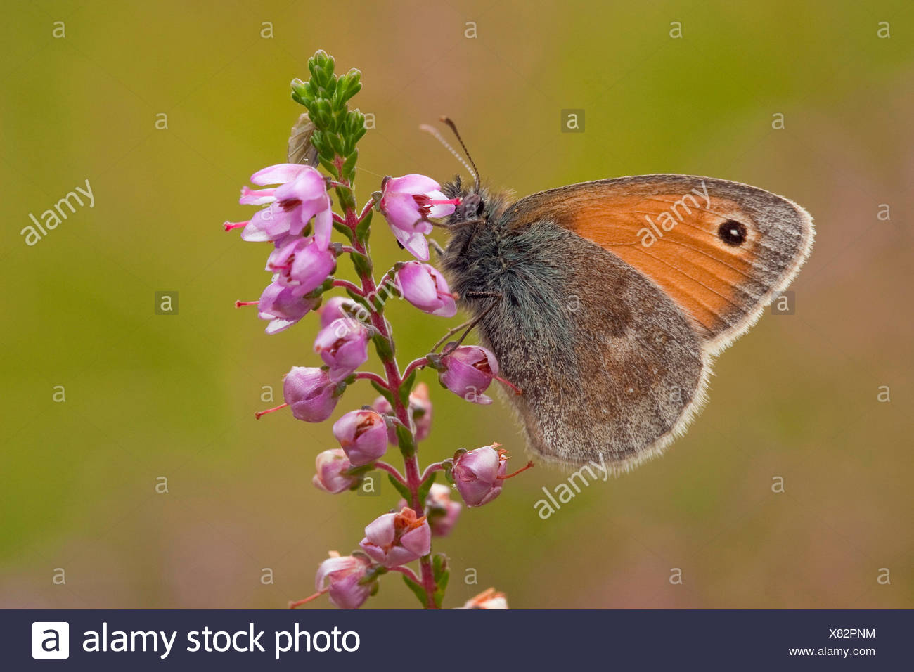 small heath (Coenonympha pamphilus), sucking nectar at heath, Germany - Stock Image