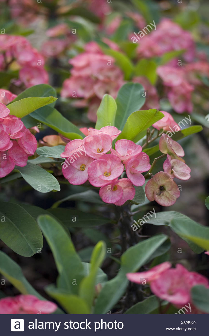 Bloom Blooms Crown Of Thorns Christ Plant Cultivated Euphorbia