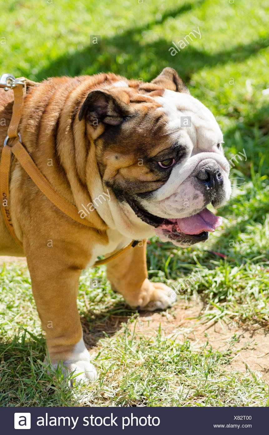 A small, young, beautiful, brown and white English Bulldog standing on the lawn while sticking its tongue out and looking playful and cheerful. Stock Photo