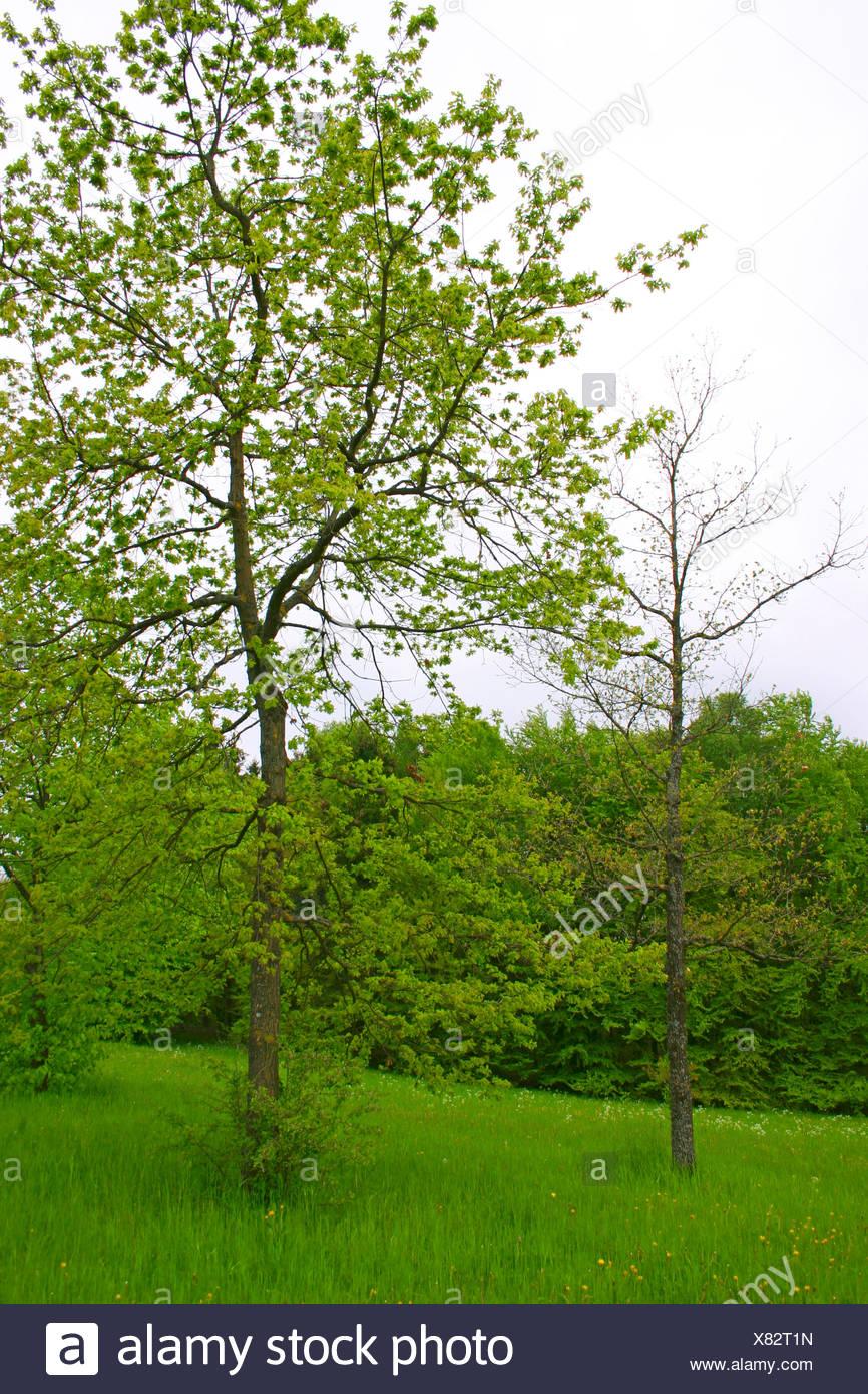 common oak, pedunculate oak, English oak (Quercus robur), with fresh leaves, Germany Stock Photo