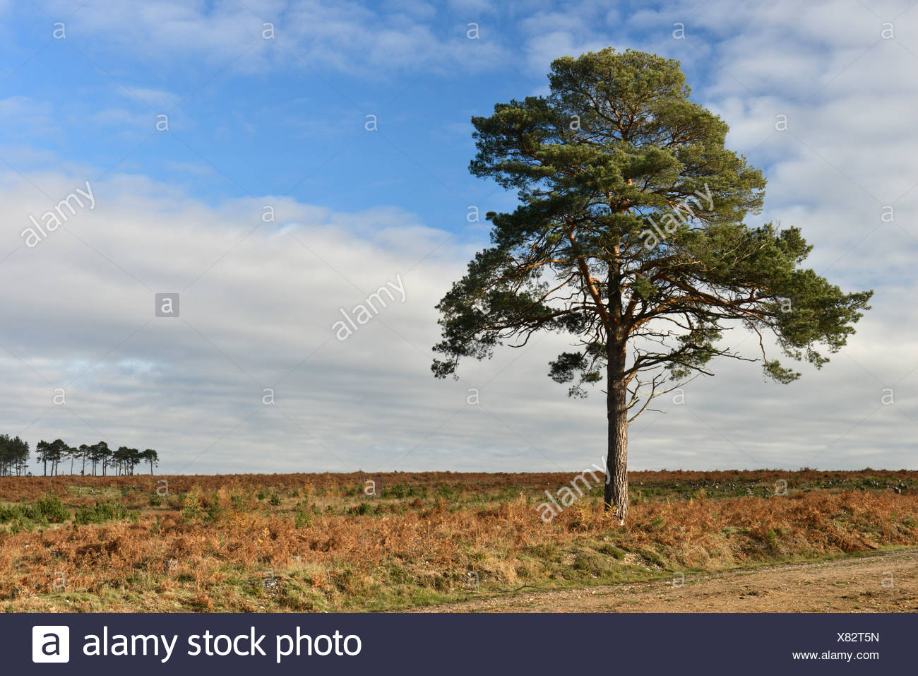 Solitary Scots Pine - Pinus sylvestris, New Forest, Hampshire Stock Photo